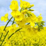 Canola - repce virág